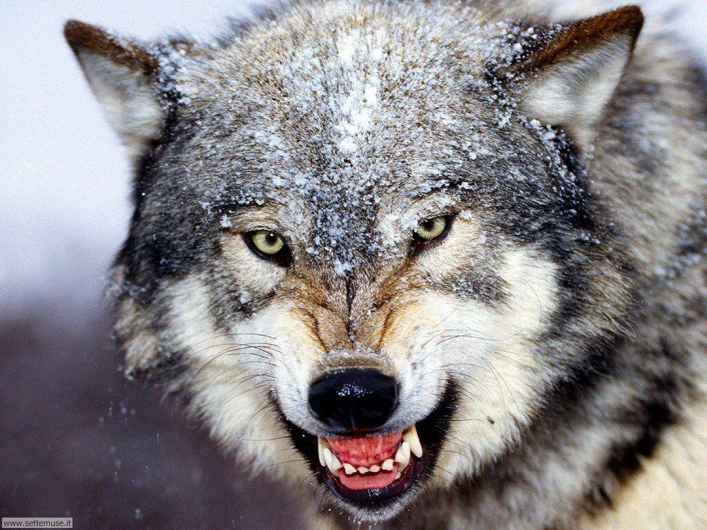Come il lupo diventò cane