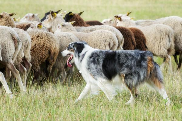 pastori conduttori